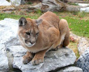 Un leone di montagna (foto di Greg Hume via Wikimedia Commons)