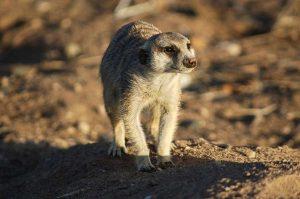 Un suricato fotografato nel deserto della Namibia (foto di Joachim Huber via Flickr)