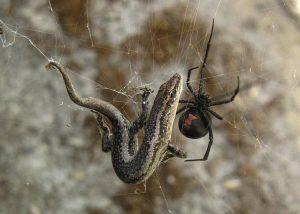 Un ragno dalla schiena rossa in lotta con una lucertola appena catturata (foto di Calistemon via Wikimedia Commons)