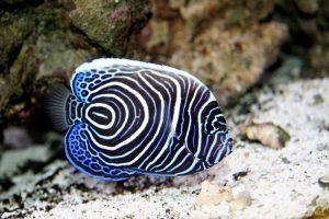 Un pesce angelo imperatore da giovane (foto di Vic Brincat via Flickr)