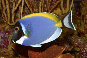 Il pesce chirurgo dalla gola bianca, uno dei più belli al mondo (foto di H. Zell via Wikimedia Commons)