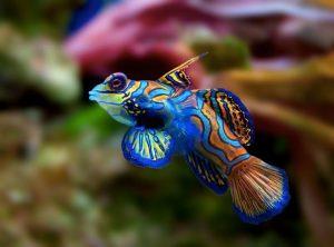 Il pesce mandarino, forse il più bello in assoluto (foto di Luc Viatour via Wikimedia Commons)