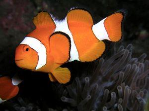 Il pesce pagliaccio reso famoso da Nemo (foto di Nick Hobgood via Wikimedia Commons)