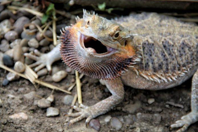 Il drago barbuto, uno degli animali domestici più strani in circolazione