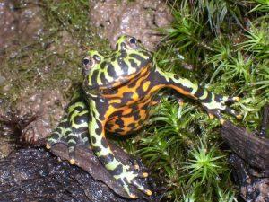La Bombina Orientalis, una rana molto particolare