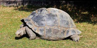 La tartaruga gigante delle Galapagos (foto di Karelj via Wikimedia Commons)