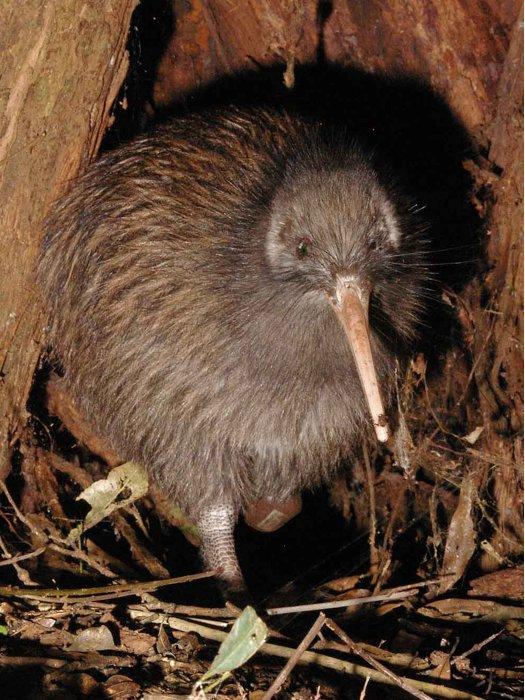 L'uccello kiwi