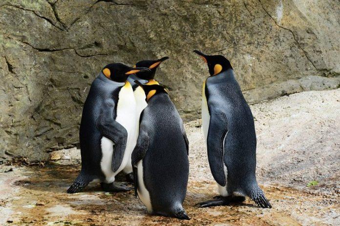 Un gruppo di pinguini imperatore, ottimo esempio di uccelli che non volano