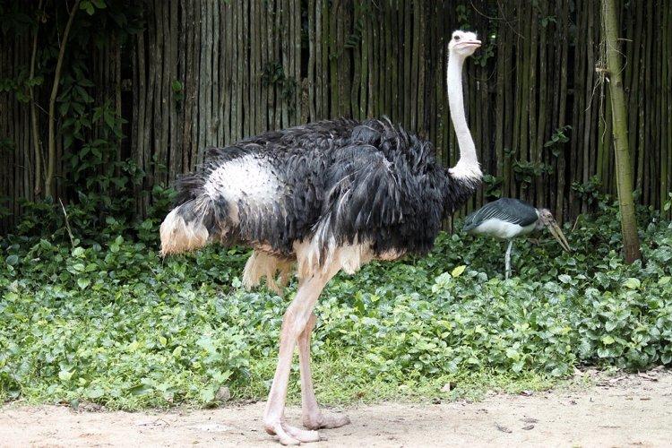 Lo struzzo, uno dei più famosi uccelli che non sono in grado di volare