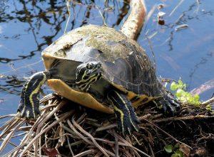 Una tartaruga di ululone dal ventre rosso