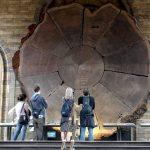 La sezione di sequoia gigante del Museo di Storia Naturale di Londra (foto di Drow Male via Wikimedia Commons)