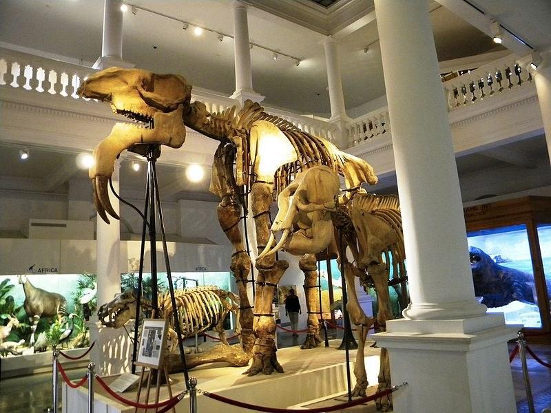 Lo scheletro di Deinotherium Gigantissimum conservato al Museo Nazionale di Storia Naturale, una delle mete imperdibili quando si vuole sapere cosa vedere a Bucarest (foto di Mirela Britchi via Wikimedia Commons)