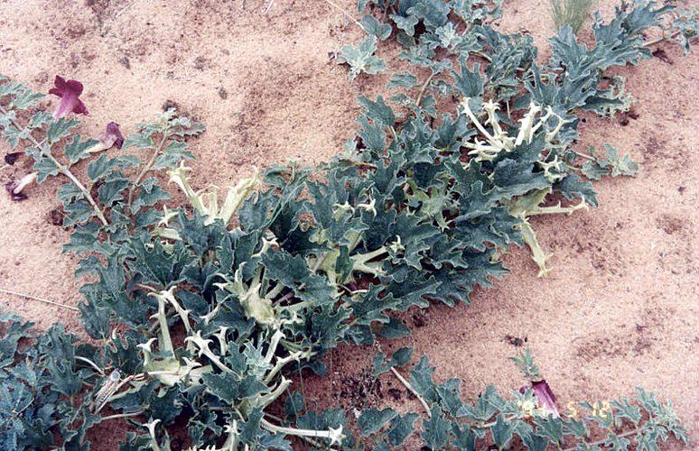 Una pianta di artiglio del diavolo (© CITES Secretariat)