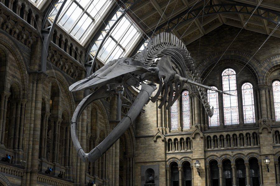 Lo scheletro di balenottera azzurra che pende dal soffitto del Museo di Storia Naturale di Londra (foto di Steveoc 86 via Wikimedia Commons)