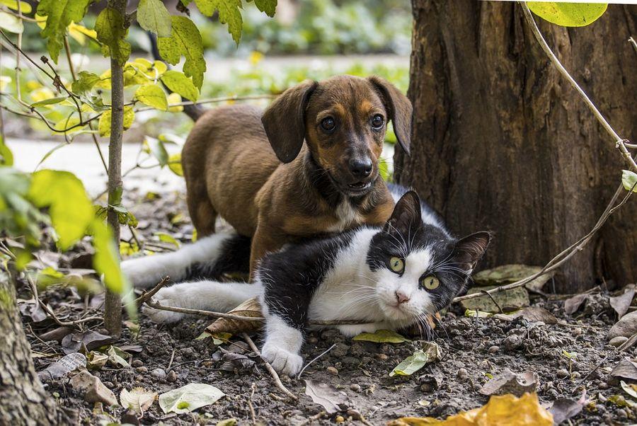 Cane e gatto, o meglio bassotto e gatto