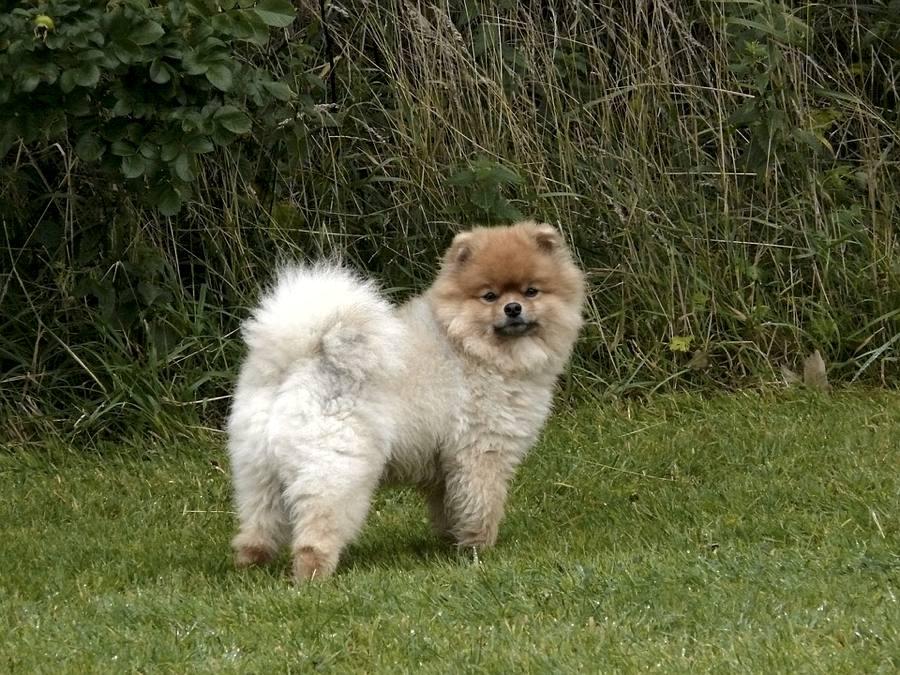 Un cane pomerania