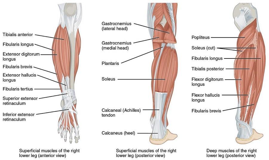 I muscoli delle gambe nel dettaglio (immagine di OpenStax via Wikimedia Commons)