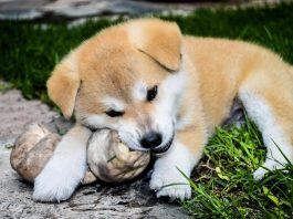 Alla scoperta dei cani giapponesi, partendo all'Akita Inu