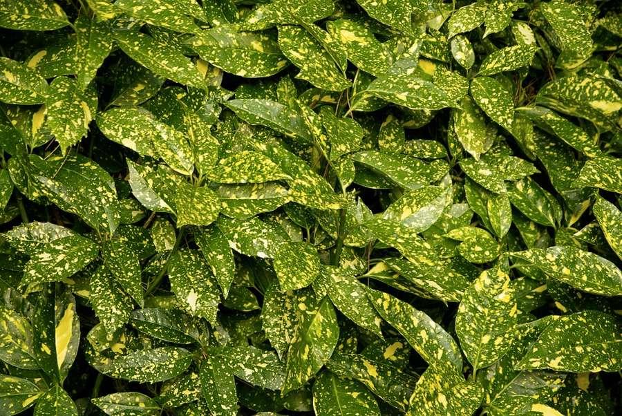 Le tipiche foglie dell'aucuba