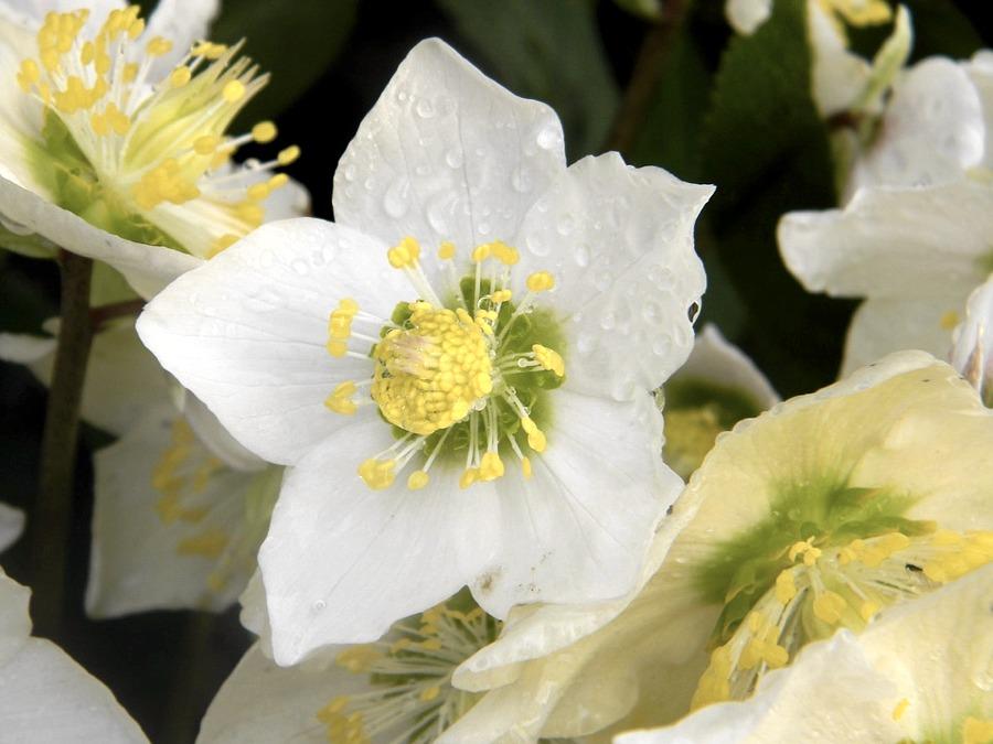 I fiori di Elleboro
