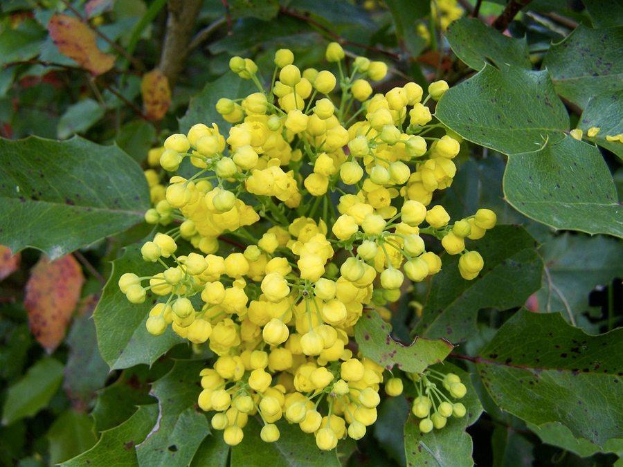 I fiori della mahonia