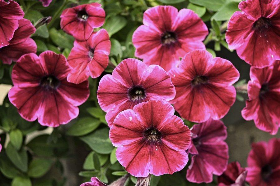 I fiori della petunia