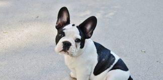 Un cucciolo di Bulldog Francese
