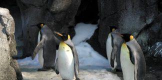 Dei pinguini reali come quelli di Berlino che hanno adottato un uovo