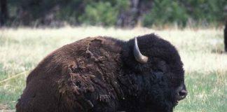 In America i bisonti si spostano solo con gli AC/DC