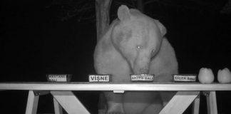 Gli orsi che rubano il miele in Turchia