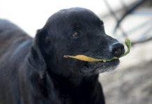 Il labrador colombiano Negro, che cercava di comprare biscotti pagando con delle foglie