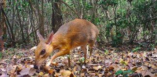 Il cervo topo fotografato in Vietnam