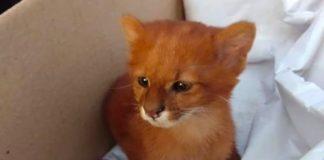 Il piccolo puma scambiato per un gatto