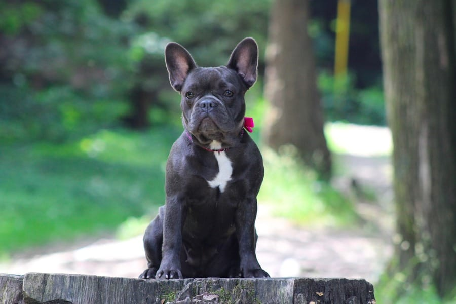Il Bulldog dal manto blu
