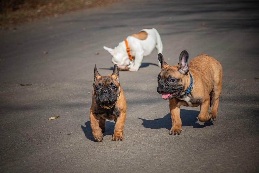 Alcuni cuccioli di Bulldog Francese