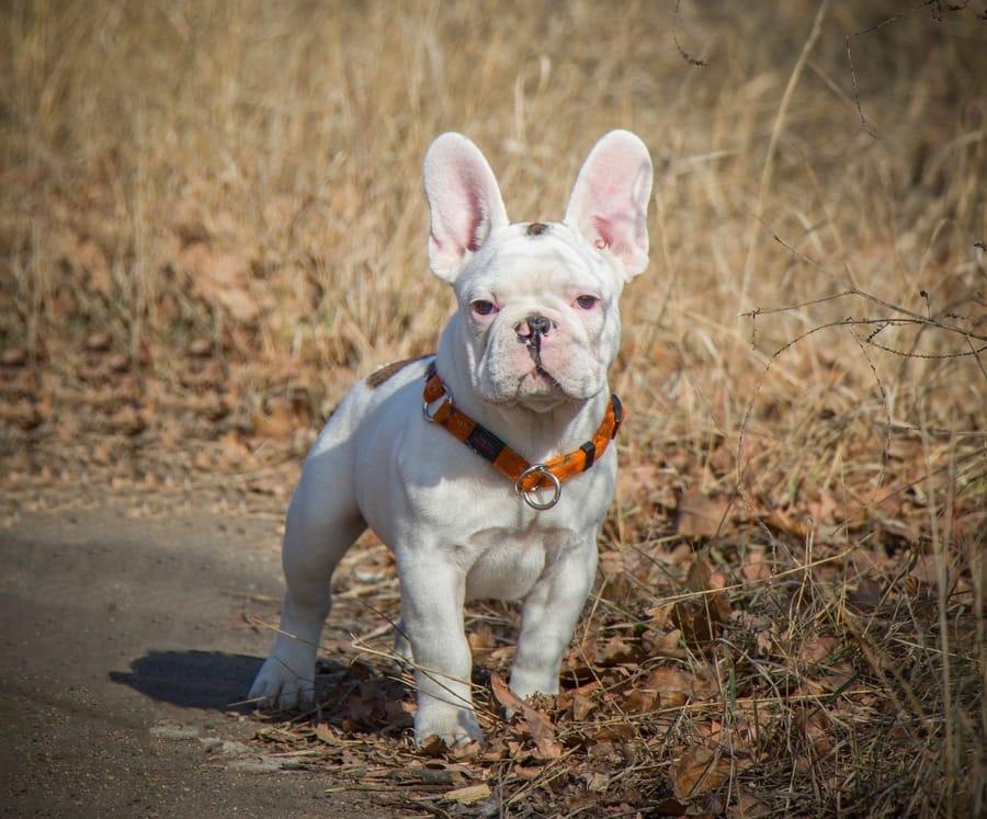 Un Bulldog Francese