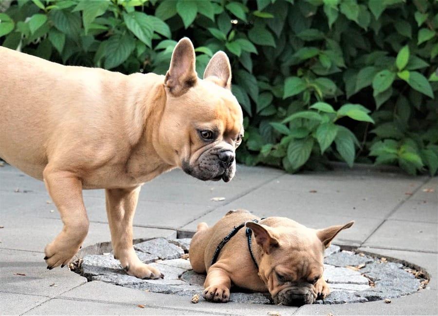 Il temperamento del Bulldog Francese