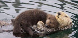 La lontra col suo cucciolo
