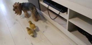 I due anatroccoli dietro al cane