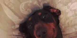 Il cane Rolo, con la coda in distorsione