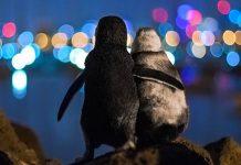 I pinguini abbracciati a guardare Melbourne di notte